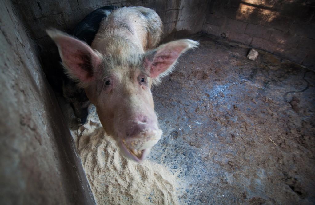 organic pig farm corfu