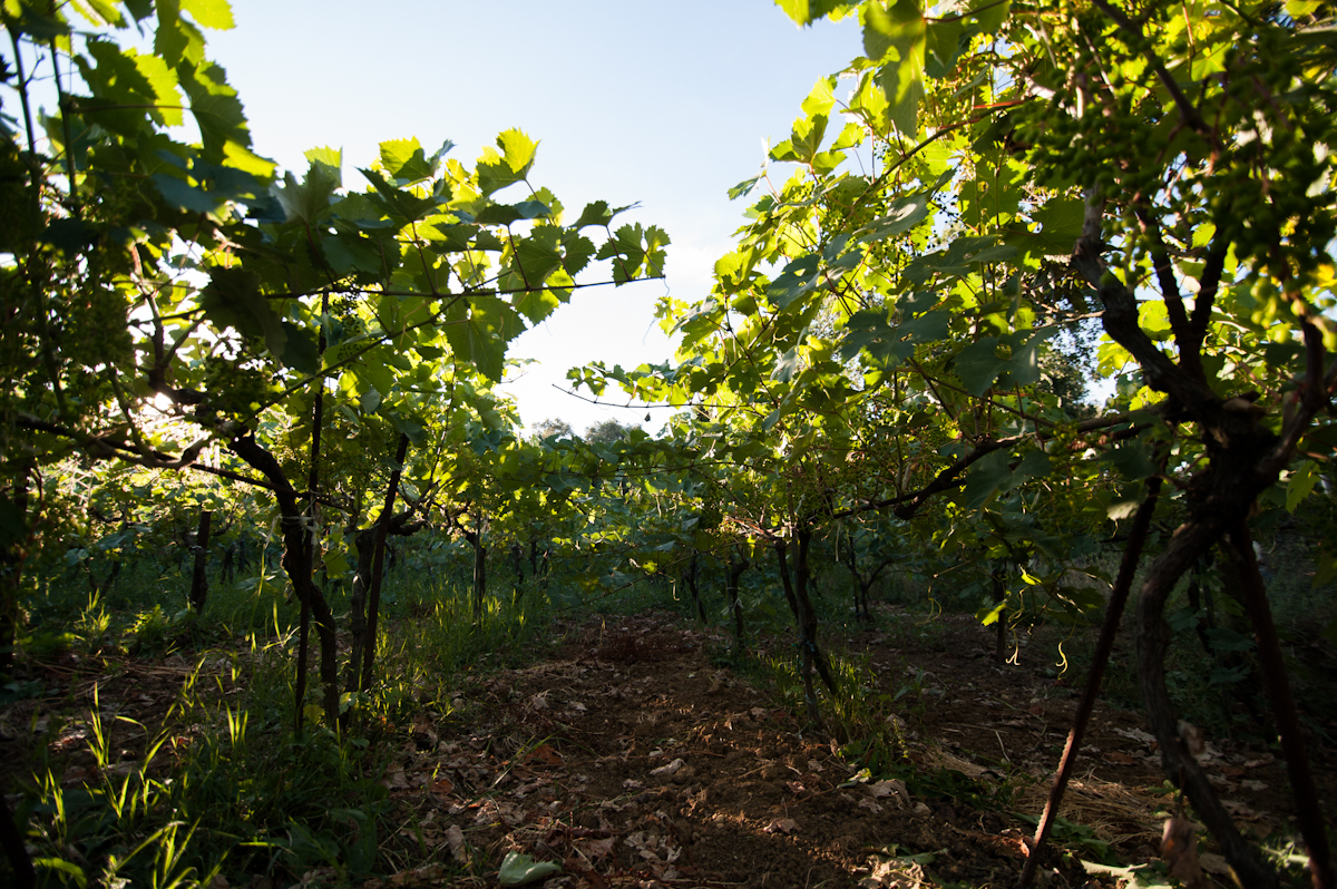organic grape vineyard corfu