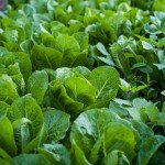 Vrachos organic lettuce farm Corfu Woof