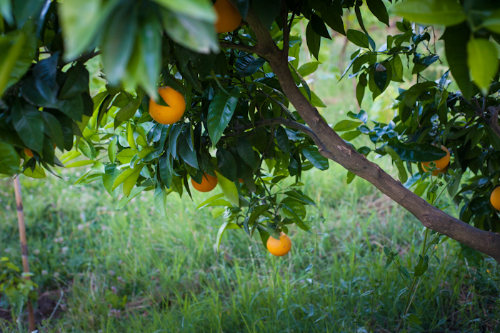 greece orange tree